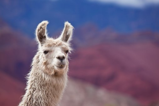 Llama antibodies